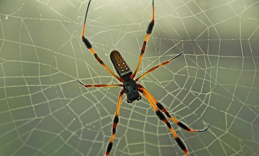 Banana Spider Size Interesting Facts And Bite Treatment