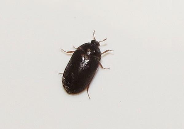 Carpet Beetles