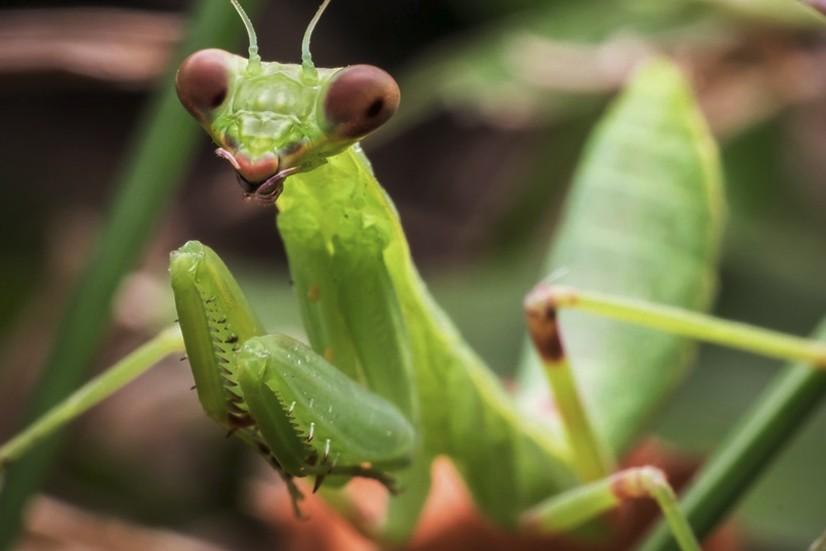 Praying Mantis Facts Habitat Pictures Bite Faq Size